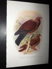 Baker & Gronvold Indian Pigeons & Doves 1913 Bird Print. Purple Wood Pigeon